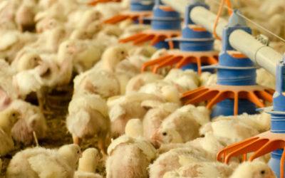 Qué comen y cómo se alimentan los pollos